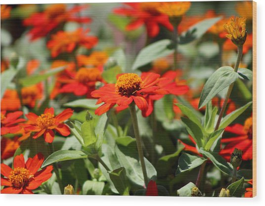 Zinnias In Autumn Colors Wood Print