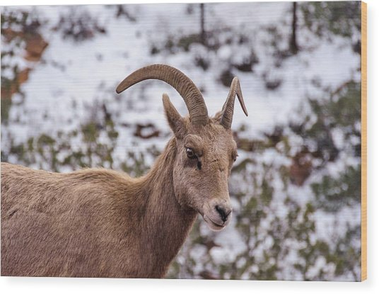 Zion Bighorn Sheep Close-up Wood Print