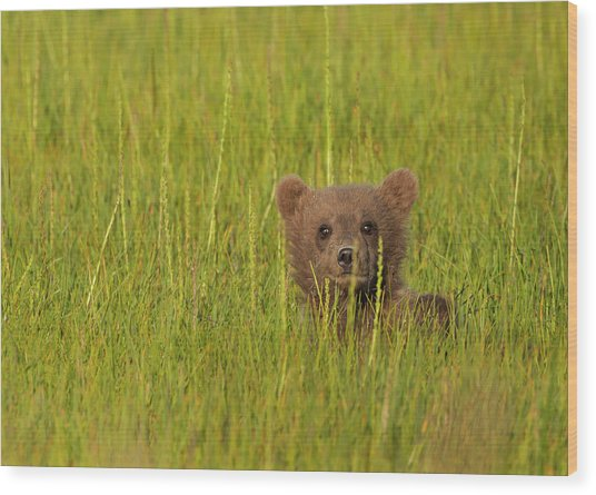 A Brown Bear Cub In The Long Grass In Wood Print by Mint Images - Art Wolfe