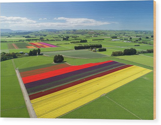 Aerial Of Colorful Tulip Fields Wood Print by David Wall