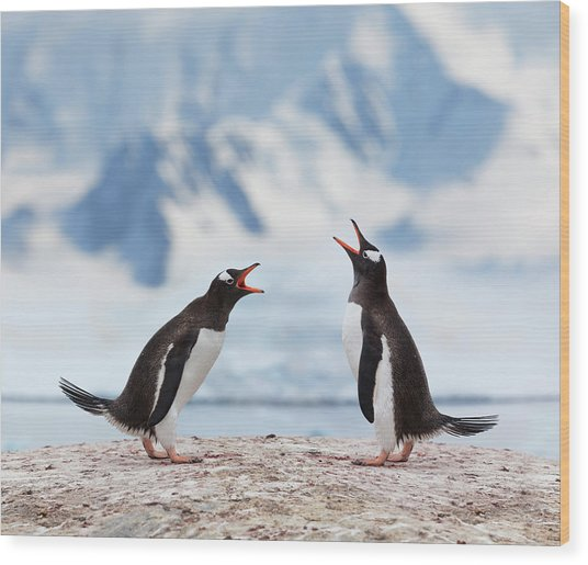 Antarctica Gentoo Penguins Fighting Wood Print by Grafissimo