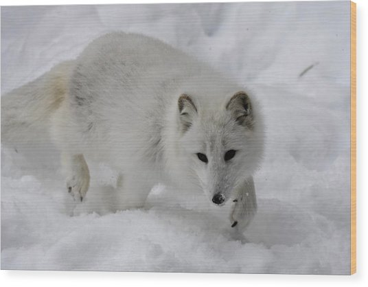 Artic Fox Wood Print