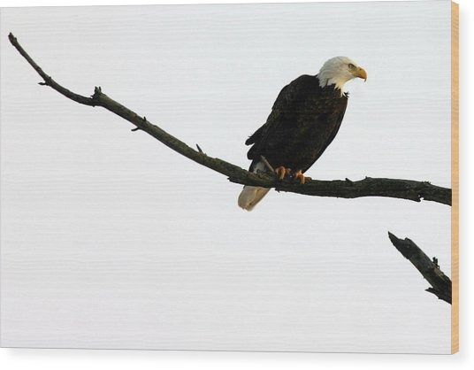 Bald Eagle 120501 Wood Print