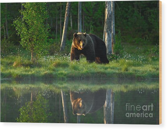 Big Brown Bear Walking Around Lake In Wood Print