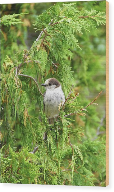 Camprobber - The Gray Jay Wood Print