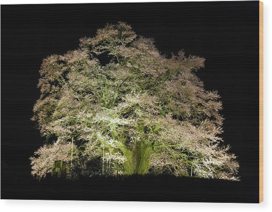 Cherry Blossoms At Night Wood Print