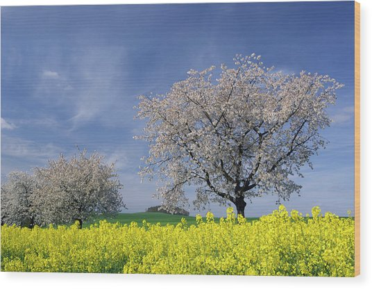 Cherry Tree In Blossom Wood Print by Cornelia Doerr