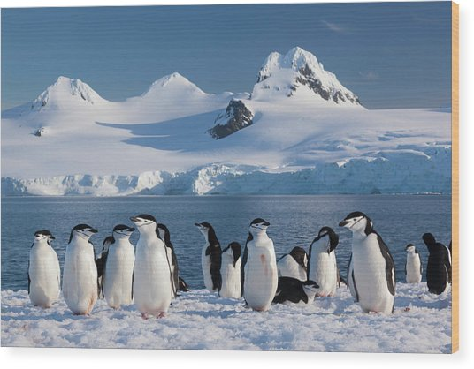 Chinstrap Penguins On Half Moon Island Wood Print by Mint Images - Art Wolfe