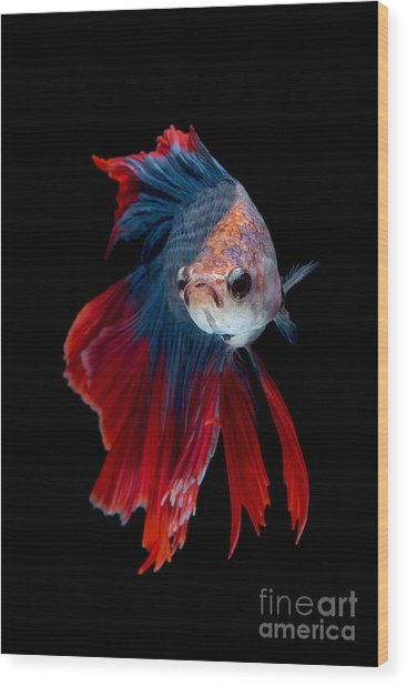 Colourful Betta Fish,siamese Fighting Wood Print by Nuamfolio