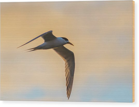 Crested Tern In The Early Morning Light Wood Print