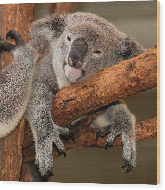 Cute Australian Koala Resting During The Day. Wood Print