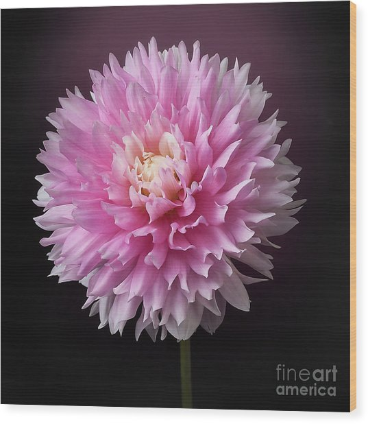 Wood Print featuring the photograph Dahlia 'chilson's Pride' by Ann Jacobson
