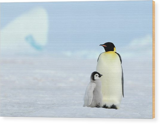 Emperor Penguin Wood Print by Tcyuen