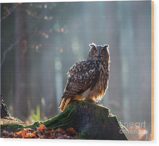 Eurasian Eagle Owl Bubo Bubo Sitting On Wood Print