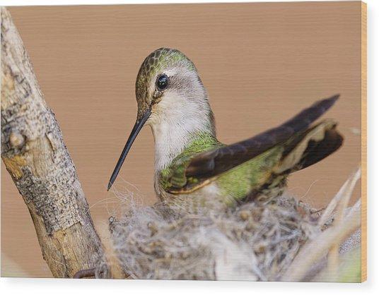 Female Anna's Hummingbird On Nest Wood Print by Adam Jones