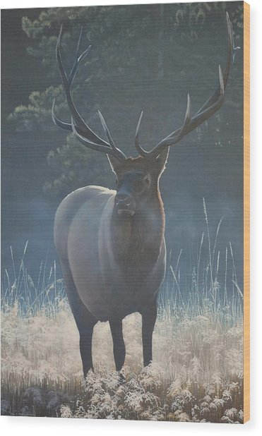 First Light - Bull Elk Wood Print