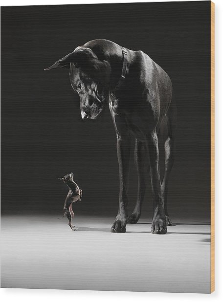 Great Dane And Chihuahua Staring At One Wood Print by Lauren Burke