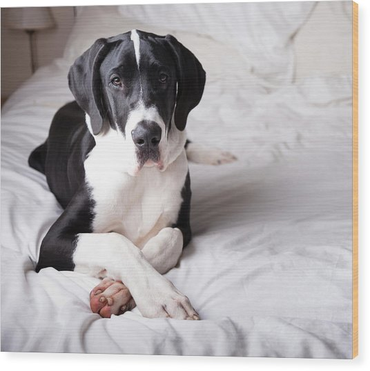 Great Dane On A Bed Wood Print by Claire Plumridge