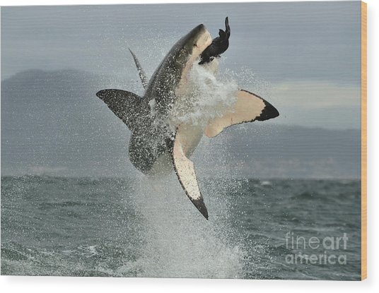 Great White Shark Carcharodon Wood Print