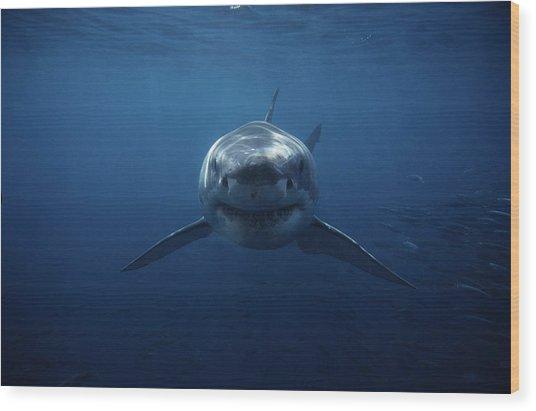 Great White Shark,carcharodon Wood Print