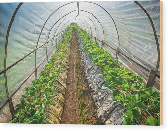 Hydroponic Vegetable In A Garden Wood Print by Primeimages