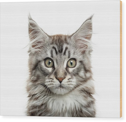 Maine Coon Kitten In Front Of White Wood Print by Life On White