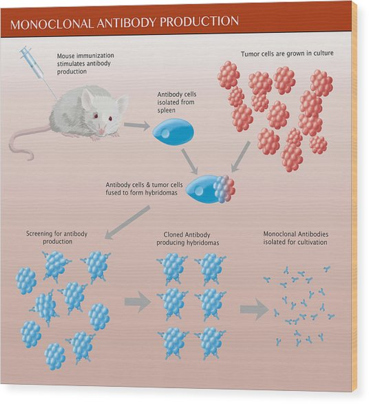 Monoclonal Antibody Production Wood Print by Monica Schroeder