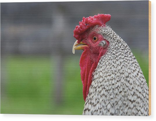 New York Black And White Rooster Wood Print by Cindy Miller Hopkins