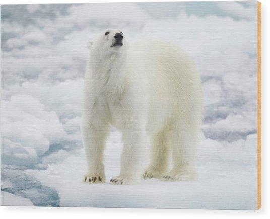 Polar Bear Wood Print by Kencanning