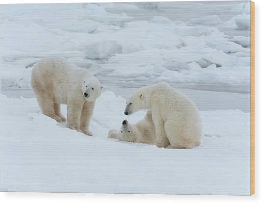 Polar Bears In The Wild. A Powerful Wood Print by Mint Images - David Schultz
