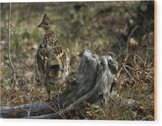 Ruffed Grouse 50701 Wood Print