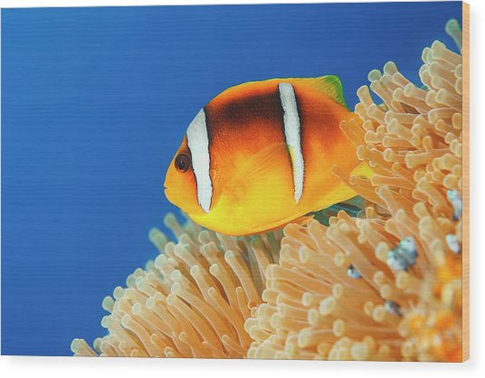 Sea Life - Anemone  Clownfish Wood Print by Ultramarinfoto