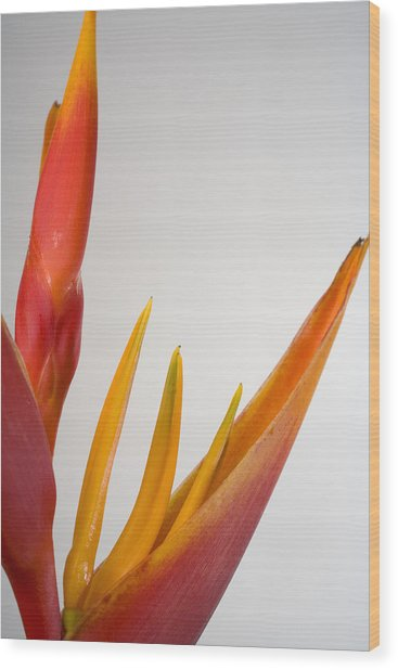 Studio Shot Of Orange And Red Heliconia Wood Print by Design Pics/tomas Del Amo