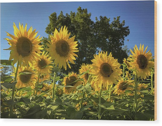 Sunlit Sunflowers Wood Print