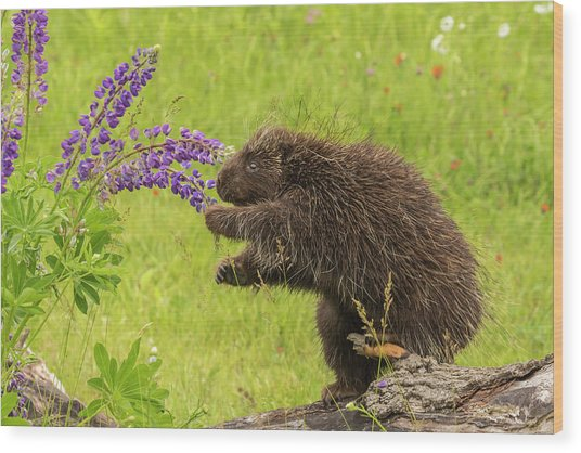 Usa, Minnesota, Minnesota Wildlife Wood Print by Jaynes Gallery