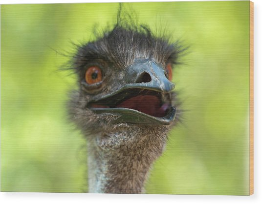 Australian Emu Outdoors Wood Print