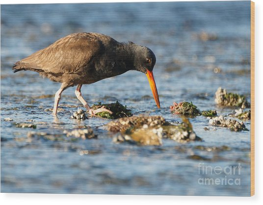 Black Oystercatcher Pacific Coast Wood Print
