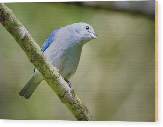Blue-gray Tanager San Jorge Ibague Colombia Wood Print