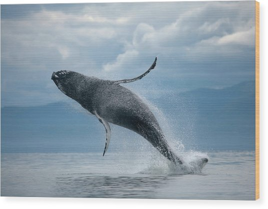 Breaching Humpback Whale, Alaska Wood Print by Paul Souders