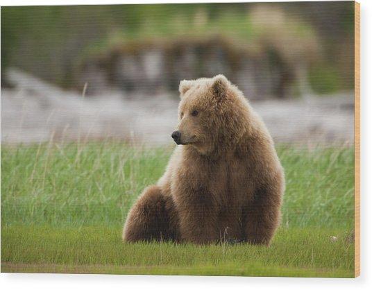 Brown Bear, Katmai National Park Wood Print by Mint Images/ Art Wolfe