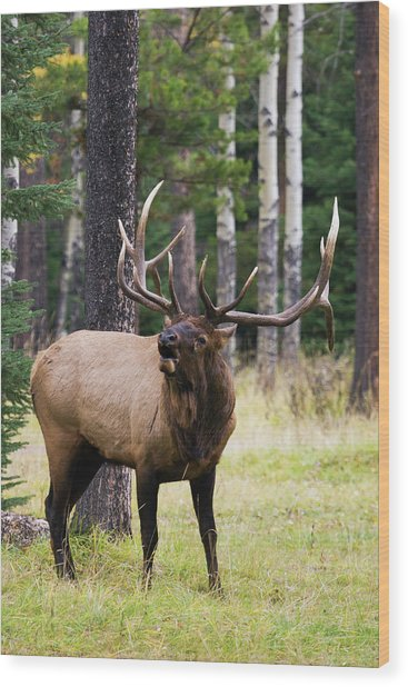 Bull Elk Bugling Wood Print by Ken Archer