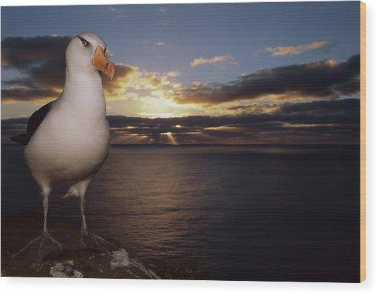 Campbell Albatross Thalassarche Wood Print by Tui De Roy/ Minden Pictures