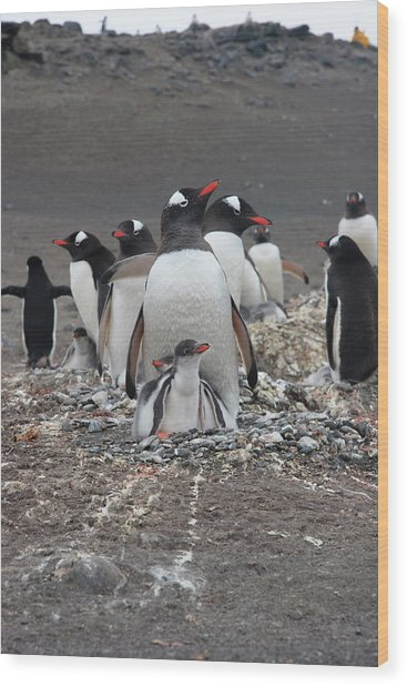 Gentoo Penguin Barrientos Island, South Wood Print by Tom Norring