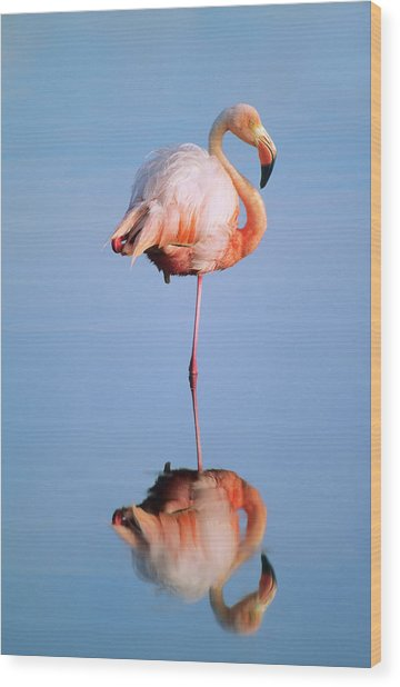 Greater Flamingo Phoenicopterus Ruber Wood Print by Wayne Lynch