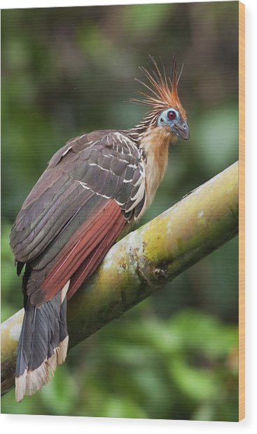 Hoatzin, Amazon Rainforest Wood Print by Ken Archer