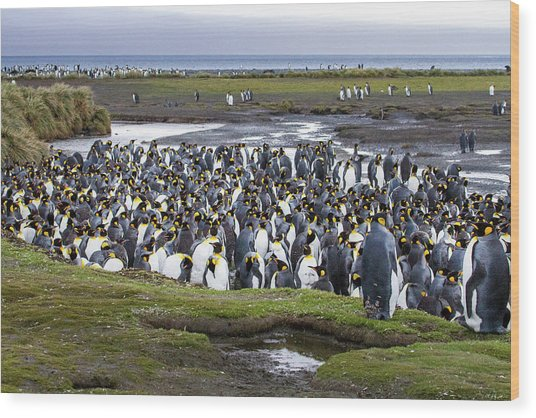 King Penguin Rookery At Salisbury Plain Wood Print by Tom Norring