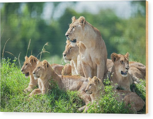 Lioness With Cubs In The Green Plains Wood Print by Guenterguni