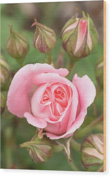 Pink Rose, International Rose Test Wood Print by William Sutton