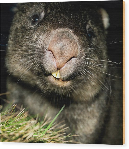 Wombat At Night Wood Print
