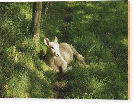 20/06/14  Keswick. Lamb In The Woods. Wood Print
